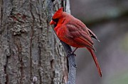 Dan Ferrin - Northern Cardinal Male