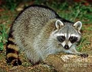 Raccoon Print by Millard H. Sharp