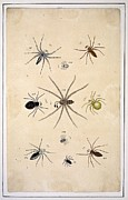 Science Photo Library - Spiders, 18th century...