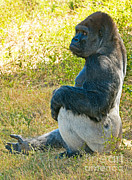 Critically Endangered Species Prints - Western Lowland Gorilla Print by Millard H. Sharp