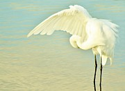 Paulette Thomas Photography Prints - Great White Egret Print by Paulette  Thomas