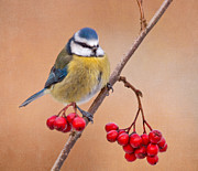 Flypaper Textures Photos - Blue tit by Margaret S Sweeny