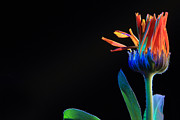 Still Life Photographs Originals - Flower by Maurizio Grandi