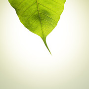 Leaf Originals - Pho Or Bodhi by Atiketta Sangasaeng