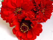 Elvira Ladocki - 2499-red Zinnias