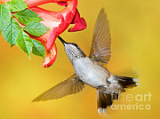 Ruby Throated Hummingbird Print by Millard H Sharp