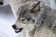 Animal Photograph Prints - Timber Wolf Print by Michael Cummings