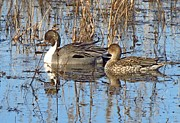 J D  Whaley - 2742 Pintail Duck Pa...