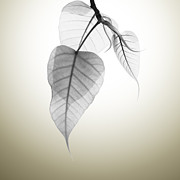 Leaf Abstract Posters - Pho Or Bodhi Poster by Atiketta Sangasaeng
