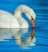 Wing Mirror Photos - Mute Swan by Brian Stevens