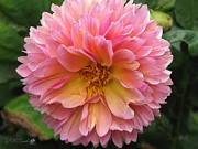 Blooming Digital Art Prints - Dahlia from the Showpiece Mix Print by J McCombie