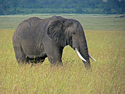 Tony Murtagh - African elephant