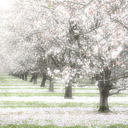 Pink Blossoms Posters - Almond Orchard Poster by Carol Leigh