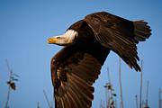 Nick  Biemans - American Bald Eagle in flight