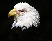 Thomas Photography  Thomas - American Bald Eagle