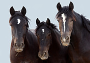 Wild Horse Photos - 3 Amigos Wild Mustang by Rich Franco