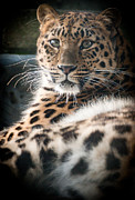 Amur Leopard Print by Chris Boulton