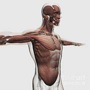 Human Body Parts Posters - Anatomy Of Male Muscles In Upper Body Poster by Stocktrek Images