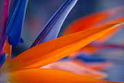 Strelitzia Art - Art by Nature by Sharon Mau