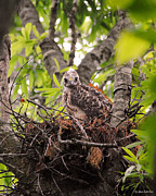 Red-shouldered Hawk Prints - Baby Red Shouldered Hawk in Nest Print by Jai Johnson