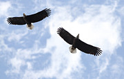 Lori Tordsen - Bald eagle pair