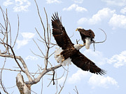 Lori Tordsen - Bald Eagles