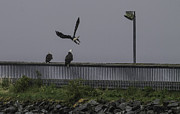 Timothy Latta - 3 Bald Eagles on a rainy...