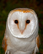 Paul Scoullar - Barn Owl