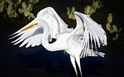 Beautiful Great White Egret Print by Paulette  Thomas
