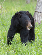 Jack Nevitt - Black Bear