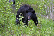 Black Bear Print by Linda Freshwaters Arndt