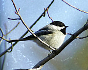 Black-capped Chickadee Greeting Cards Prints - Black Capped Chickadee Print by Carol Toepke