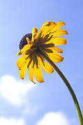 Close Up Floral Prints - Black-eyed Susan Print by Tony Cordoza