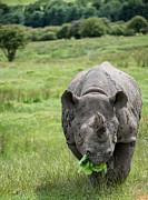 Black Rhinoceros Diceros Bicornis Michaeli In Captivity Print by Matthew Gibson
