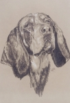 Purebred Drawings - Blue Tick Coonhound by Barbara Keith