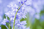 Gardening Photography Posters - Bluebell Flower - VanDusen Botanical Garden Poster by May L
