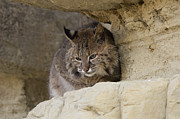 Bobcat  Felis Rufus Print by Carol Gregory