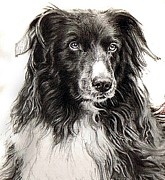 Border Drawings - Border Collie Dog Portrait by Olde Time  Mercantile