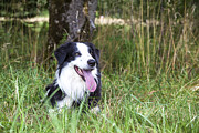 Regina Koch - Border Collie in the...