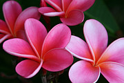Flowers Of Hawaii Photos - Breathe Gently by Sharon Mau