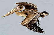 Brown Pelican In Flight Print by Paulette  Thomas
