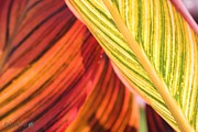 Canna Prints - Canna Lily named Durban Print by J McCombie