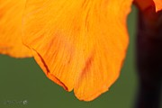 Canna Photos - Canna Lily named Wyoming by J McCombie