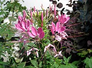 Cleome Flower Framed Prints - Cleome named Cherry Queen Framed Print by J McCombie