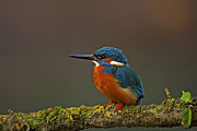 Paul Scoullar - Common Kingfisher