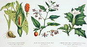 Flora Painting Prints - Common Poisonous Plants Print by English School