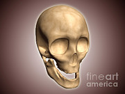 Frontal Bones Framed Prints - Conceptual Image Of Human Skull Framed Print by Stocktrek Images