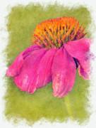 Coneflower Echinacea Print by Robert Jensen