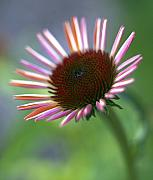 Coneflower Prints - Coneflower Print by Tony Cordoza