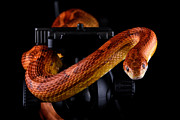 Mark Johnson - Corn Snake